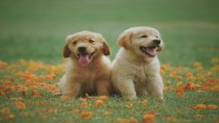 golden retriever puppies in a field