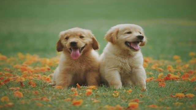 golden retriever puppies in a field