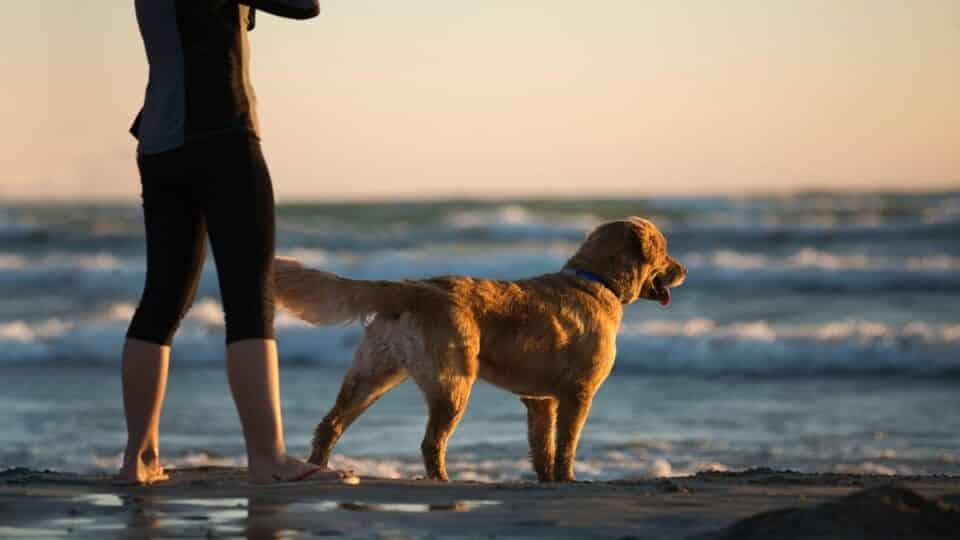 Golden Retrievers As Service Dogs