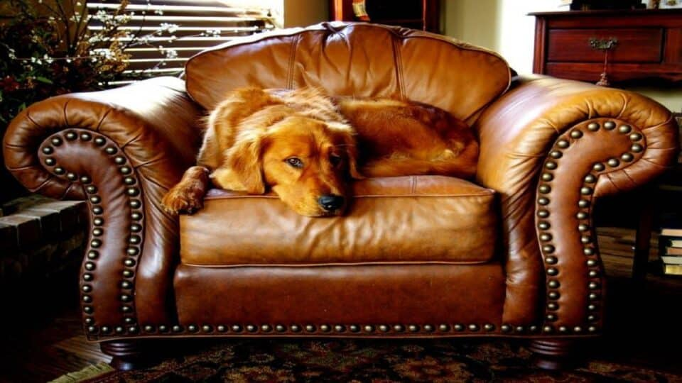 A History of Golden Retrievers