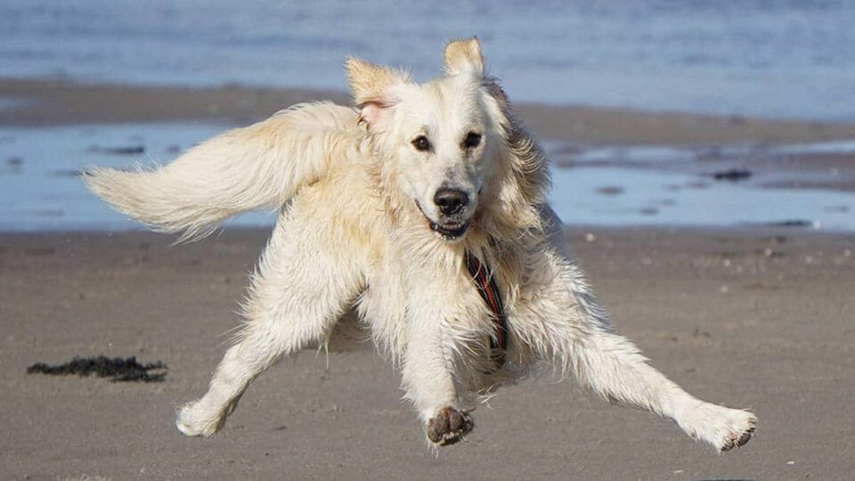 How to stop your Golden Retriever from jumping