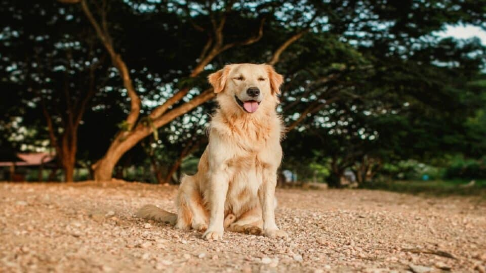 Why Would a Golden Retriever Be Panting?
