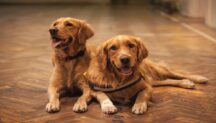 Common health issues Goldens suffer from