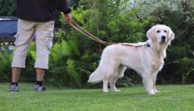 Leashed Golden Retriever