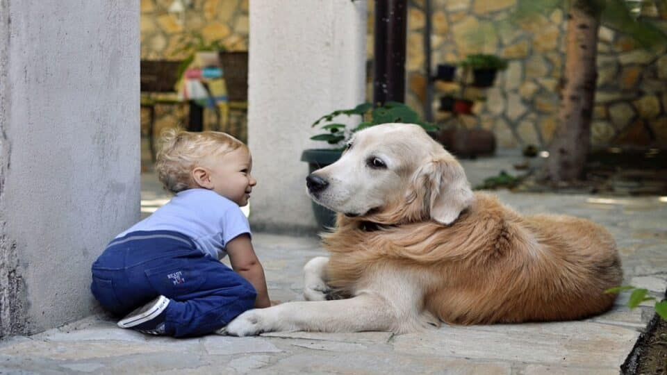 How Golden Retrievers behave around babies