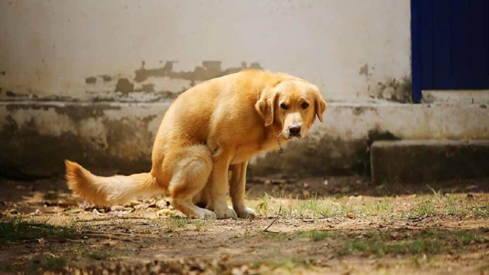 The best way to treat diarrhea in Golden Retrievers