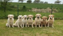 Golden Retrievers and Labrador Retrievers