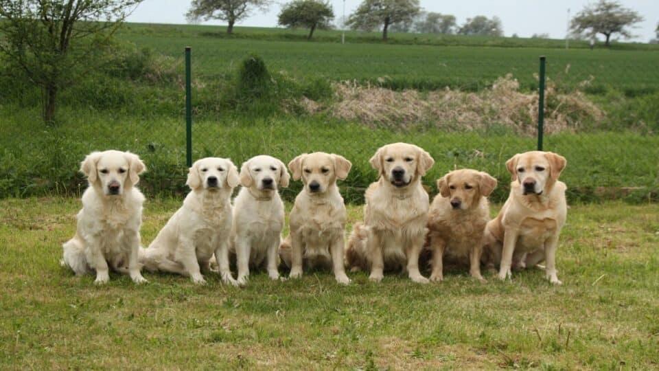 Golden Retrievers and Labrador Retrievers