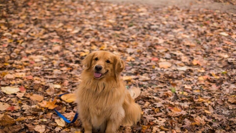 How to Teach Your Golden Retriever to Sit