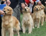 Finding a Golden Retriever breeder