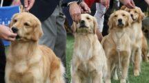 Finding a Golden Retriever breeder